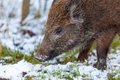 Wild boar in the forest there lives Stock Image