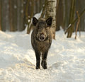 Wild boar in the forest in winter Stock Photo