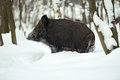 Wild boar in the forest in winter Royalty Free Stock Photos