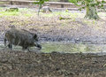 Wild Boar in Goluchow, Poland. Royalty Free Stock Photo