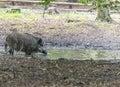 Wild Boar in Goluchow, Poland. Royalty Free Stock Photo