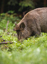 Wild boar in grazing on fresh spring greens Stock Photo