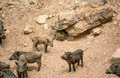 Wild boar a herd of living naturally Royalty Free Stock Images