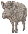 Wild boar isolated vector illustration Stock Image