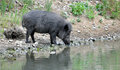 Wild boar at lake view of a on the Royalty Free Stock Image