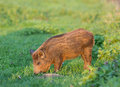 Wild boar little grazing on grassland in wilderness Stock Photography