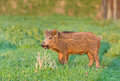 Wild boar little standing on grass land in wilderness Stock Photography