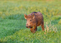 Wild boar little walking on grassland in wilderness Stock Images