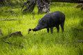 Wild boar looking for food Royalty Free Stock Photo