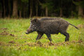 Wild boar on the move walking through forest clearing damage to field clearly evident Royalty Free Stock Photos