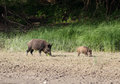 Wild boar and piglet walking in front of forest Royalty Free Stock Photo