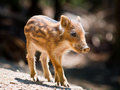 Wild boar piglet young sus scrofa is walking in the sun Stock Photo