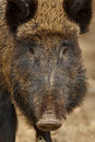 Wild boar portrait closeup of a female in germany Stock Photos
