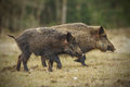 Wild boar running across a well grazed meadow Stock Photography