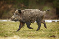 Wild boar running for cover in the forest through a winter meadow Stock Photography