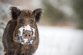 Wild boar with snow on snout Stock Photography