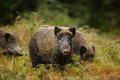 Wild boar sounder in dense undergrowth mother and family autumn forest Royalty Free Stock Image