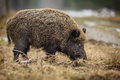 Wild boar sow foraging in winter forest at the edge of a germany Royalty Free Stock Photo