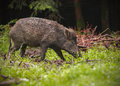 Wild boar in spring forest Stock Photography
