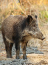 Wild boar standing on the ground Stock Images