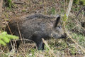 Wild boar sus scofa foraging forest dean Stock Photo