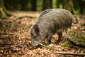Wild boar (Sus scrofa) Stock Photography
