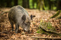 Wild boar (Sus scrofa) Royalty Free Stock Photography