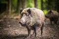 Wild boar (Sus scrofa) Royalty Free Stock Photo