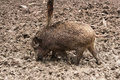 Wild boar in their natural environment Royalty Free Stock Images