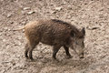Wild boar in their natural environment young Stock Image