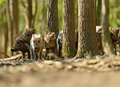 Wild boar in their natural habitat in the spring Royalty Free Stock Photos