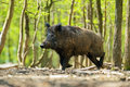 Wild boar in their natural habitat in the spring Stock Photo