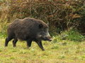 Wild boar before a thicket Stock Photos