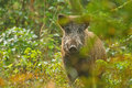 Wild boar through the trees Stock Image