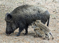 Wild boar and two piglets Stock Photo