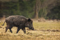 Wild boar walking through dead grass Royalty Free Stock Photo
