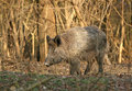 Wild boar walking in forest in autumn morning Stock Photography