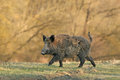 Wild boar walking in forest in autumn morning Royalty Free Stock Photo