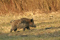 Wild boar walking in forest in autumn morning Stock Photos