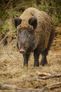 Wild boar walking through forest dead grass and pine trees Royalty Free Stock Photography