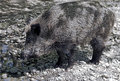 Wild boar at watering pool latin name sus scrofa Royalty Free Stock Images