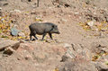 Wild Boar In The Wild Nature