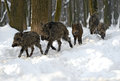 Wild boar in winter Royalty Free Stock Photo