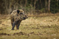 Wild boar in winter meadow watching for danger a Royalty Free Stock Image