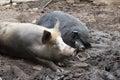 Wild boars sleeping Stock Photography