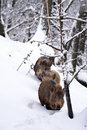 Wild boars or Wild hogs (Sus scrofa) in the snow Royalty Free Stock Photo