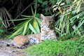 Wild bobcat lynx rufus relaxing in florida Royalty Free Stock Image