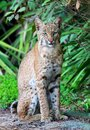 Wild bobcat lynx rufus relaxing in florida Stock Photos
