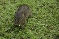 Wild Brazilian Baby Guinea Pig, Eating Royalty Free Stock Photo