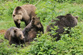 Wild brown bear family forest Royalty Free Stock Photography